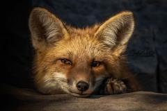 Gazing Fox Kit