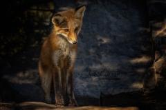 Watching Red Fox Kit