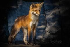 Red Fox Kit On Alert