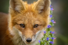 Red Fox Kit By Flowers