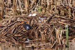 Turtles on Swan Nest