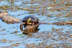Painted Turtle 3