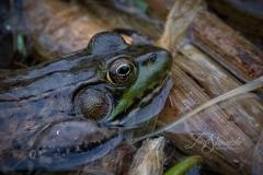 American Bullfrog 5