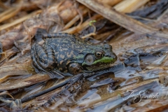 American Bullfrog 7