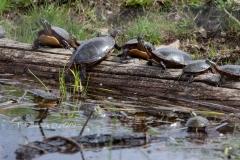 Painted Turtles 17