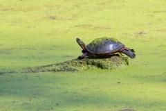 Painted Turtle 10
