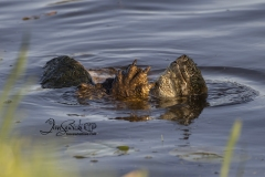 Snapping Turtles Copulating