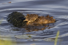 Snapping Turtles Copulating 2
