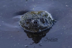 Snapping Turtle Stare