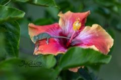 Baby Chameleon on Hibiscus 2