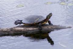 Painted Turtle 8