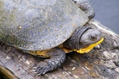 Blanding Turtle 3
