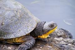 Blanding Turtle 1