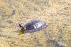 Painted Turtle 7