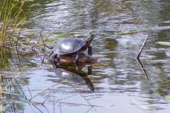 Painted Turtle 6
