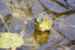 American Bullfrog 4