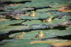 Frogs on Lily Pads 1