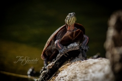 Painted Turtle 9