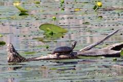 Painted Turtle 13