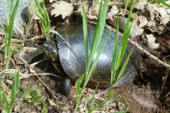 Painted Turtle 14