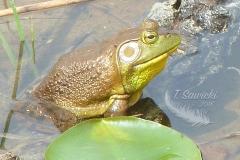 American Bullfrog 3