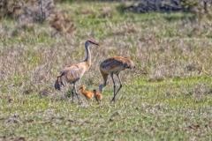 Sandhill Crane 24