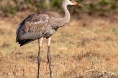 Sandhill Crane 37