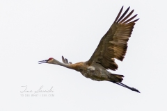 Sandhill Crane 16