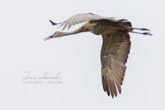 Sandhill Crane 12