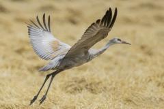 Sandhill Crane 40