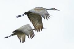 Sandhill Crane 14