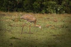 Sandhill Cranes - Colt