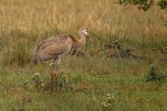 Sandhill Cranes - Colt Posing