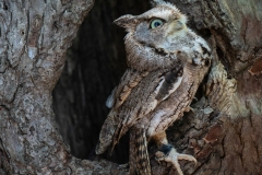 Screech Owl 7