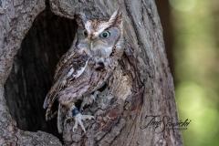 Screech Owl 6