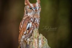 Red-Morph Screech Owl 2