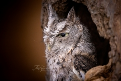 Screech Owl 4