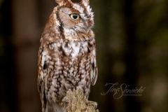 Red-Morph Screech Owl 4
