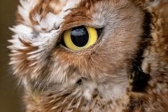 Red-Morph Screech Owl 3