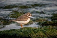 Semipalmated Plover2