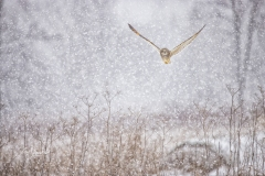 Short-Eared Owl 10