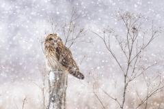 Short-Eared Owl 11
