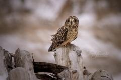Short-Eared Owl 14