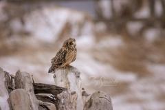 Short-Eared Owl 15