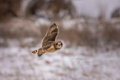Short-Eared Owl 16