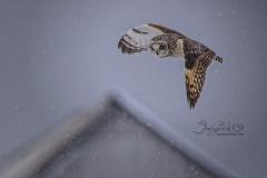 Short-Eared Owl 19