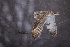 Short-Eared Owl 12