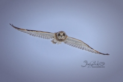 Short-Eared Owl 20