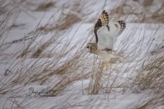 Short-Eared Owl 27