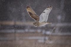 Short-Eared Owl 21
